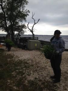 Carolina Beach Marsh Grass Planting RAD2016
